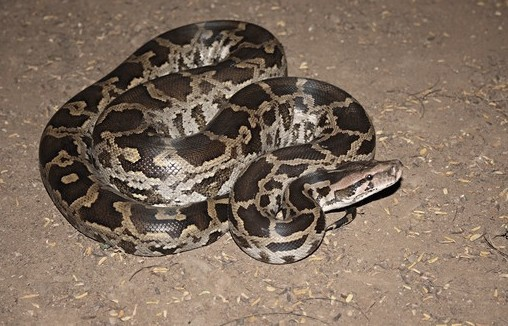 python, Python rescued from Sambalpur village