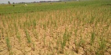 Drought stalks Dhamnagar, farmers sore