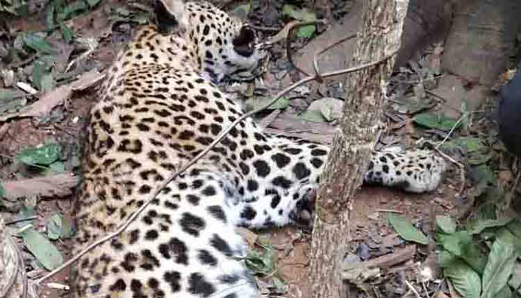 , Leopard death: DFO's statement triggers row